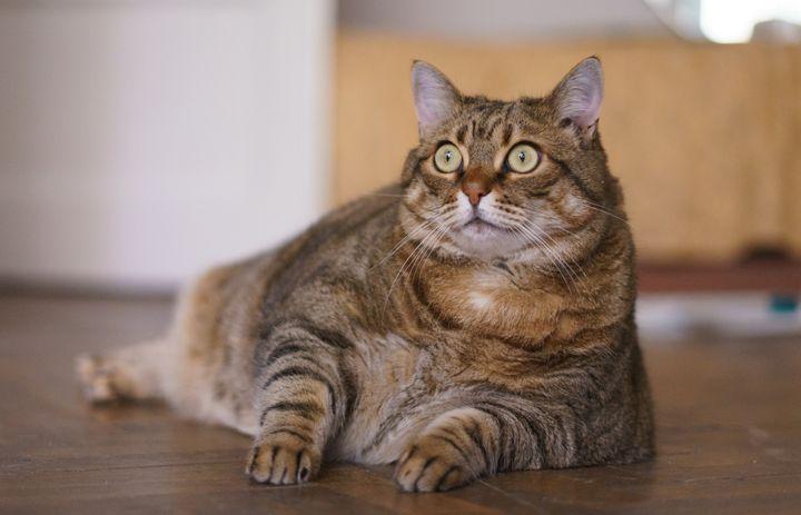 Котките може да са носители на коронавирус